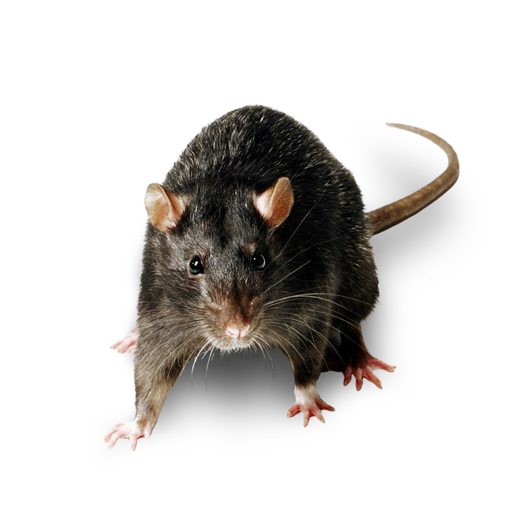 https://mantovaservice.it/wp-content/uploads/2020/05/ratto-nero-01.png